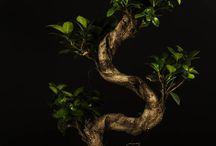Bonsai still life / Immagini in still life di Bonsai Ficus Ginseng Paganopiante.