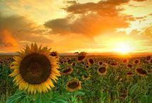 Sunflower / by VirtueFit Arlene Paraiso
