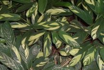 Arrowroot - (Maranta arundinacea) / All things related to the medicinal plant Arrowroot