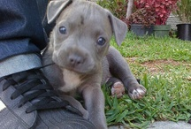 if u like blue u hav 2 hav a pitbull