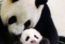 Pandy^^ / Jsou to nejkouzelnější medvídci na světě^^