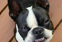 Lambert the Boston Terrier / The Life and Times of Lambert the Boston Terrier