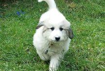 "Pyrenean mountain dog / ""Rozárka""   (nar. 27.7.2015) Pyrenejský horský pes"