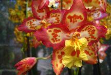 Orchideeën   Orchidées