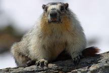 Tapety - zwierzęta - świstaki