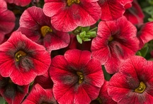 Red Flowers / Red flowers
