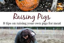 HOMESTEADING-PIGS