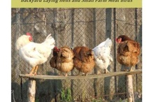 My laying hens / by Irishgirl Irishgirl