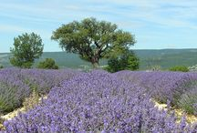 Lavender Essential Oils / There are so many different types of lavender essential oil so we thought it had better have its own board. Find out the benefits of the different types of lavender and how they can be used.