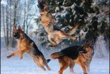 Funny German Shepherd Dog Videos