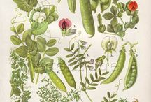 Pea (on me) / I want a tattoo of peas/pea flowers on my upper arm, featuring a double helix - possibly made with pea vines? If possible, I'd also like to incorporate Gregor Mendels Glasses?