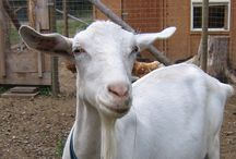 Goats at Half Moon Farm / Dairy goats and goat milk soaps in Northern BC website: http://www.halfmoongoats.com/soaps.html