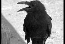 Crows and ravens / My spirit guide. Love their cantankerous call and their beautiful plumage and sparkly eyes.