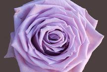Classic Roses Assortment