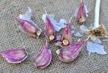 cultivar Ajos