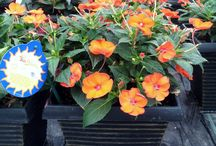 TALL SQUARE WITH SUNPATIENS / Colours