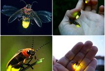 """Lightning Bugs / Lampyridae is a family of insects in the beetle order Coleoptera. They are winged beetles, and commonly called fireflies or lightning bugs for their conspicuous crepuscular use of bioluminescence to attract mates or prey. Fireflies produce a """"cold light"""", with no infrared or ultraviolet frequencies. This chemically produced light from the lower abdomen may be yellow, green, or pale-red, with wavelengths from 510 to 670 nanometers."""