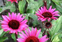 Echinacea/Rudbeckia