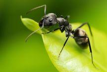 ANIMAL • Ant
