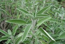 Sage (Salvia Officinalis) / All things related to the medicinal herb Sage