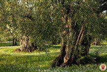 Sabina / Immagini della Sabina e dei suoi oliveti