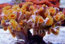 """Corals We Love! / Sometimes we get corals in that just make us say """"Wow!"""" - and we like to share them with you :)"""
