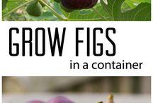 fig buah tin