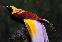 Rajskie ptaki