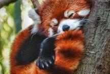 červené pandy