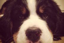 9 week old puppy / Brunnhilde Von Becancour Forman