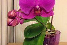 Orkide / Orkide