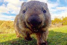 Wombats <3