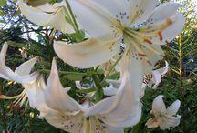 Puutarhaunelmia / Kuvia kukista ja muista kasveista, kasvihuoneesta, luonnosta