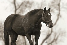 Storm Cat / Thoroughbred horse