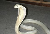 Family Elapidae. / Cobras, Sea Snakes, Sea Kraits, Black Mambas.