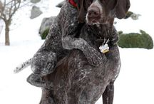 GSP / German Shorthaired Pointer