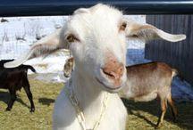 my goats