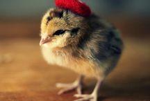 Цыплята в шапочках