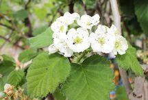 Azzeruolo - Azarole / Vendita Online Piante d'Azzeruolo in vaso. Sale Online Table Grapes Vines in pot.