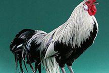 Chickens & Roosters - Gallinas y Gallos