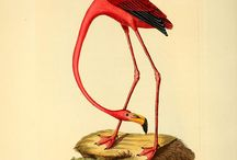 Ornithological Art (16th to 19th)