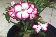 my desert roses