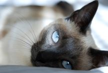 Maya / My siamese princess