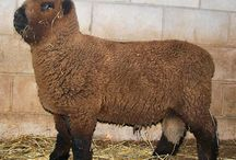 Olde English Southdown Baby Doll Sheep