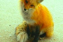 Foxes / Animal pictures of foxes