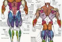 Анатомия груди, спины,рук, плеч.