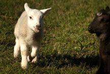 Spring / Spring at Budle Bay Croft Lambs, lambs, lambs