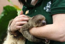 Edward The Baby Sloth / Meet Edward the baby sloth. He's being hand raised by keepers after his Mum was unable to look after him.   Edward is named after Johnny Depp's famous character, Edward Scissorhands, due to his impressive claws - which will grow up to four inches in length and enable him to cling on and climb easily through the tree-top branches of his Rainforest Life home.  www.zsl.org/edward