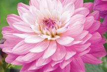 2016 New Flowers / Our NGB members are always coming out with new flower varieties each year.  Take a look at what's new this year to plant in your garden / by National Garden Bureau
