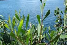 Australian flora / Photos of Australian plants